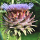 artichoke flower in garden  - PhotoDune Item for Sale
