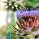 artichoke flower  - PhotoDune Item for Sale