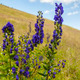 Aconitum firmum Rchb. - PhotoDune Item for Sale