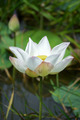 Beautiful lotus - PhotoDune Item for Sale