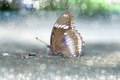 Butterfly feeding on the ground - PhotoDune Item for Sale