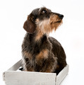 Longhair dachshund - PhotoDune Item for Sale
