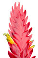 Bromelia Flower - PhotoDune Item for Sale