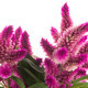 Cockscomb celosia spicata plant - PhotoDune Item for Sale