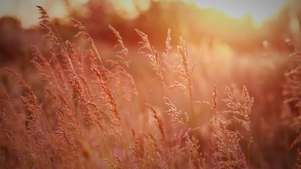 Spikelets Of Wild Grass In Rays Of Evening Sun