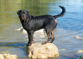 rottweiler - PhotoDune Item for Sale