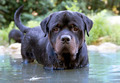 swimming rottweiler - PhotoDune Item for Sale