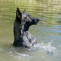 dutch Shepherd - PhotoDune Item for Sale