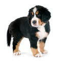 puppy bernese moutain dog - PhotoDune Item for Sale