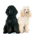 two poodles - PhotoDune Item for Sale