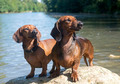 two dachshunds - PhotoDune Item for Sale