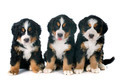 puppies bernese moutain dog - PhotoDune Item for Sale