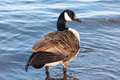 Canada goose standing in shallow water. - PhotoDune Item for Sale