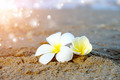 Frangipani flower in the morning on the beach. - PhotoDune Item for Sale