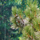 Pine Cone Tree in the Rain - VideoHive Item for Sale