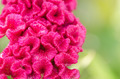 Celosia or Wool flowers or Cockscomb flower - PhotoDune Item for Sale