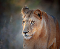 Lioness portrait front view - PhotoDune Item for Sale