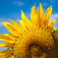 Sunflowers Field. Bright Blue Sky - PhotoDune Item for Sale