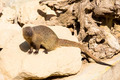 mongoose in the wild - PhotoDune Item for Sale