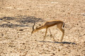 Young antelope on desert background - PhotoDune Item for Sale