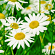 White and Yellow Daisies 821 - VideoHive Item for Sale