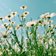 White and Yellow Daisies 822 - VideoHive Item for Sale