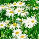 White and Yellow Daisies 823 - VideoHive Item for Sale
