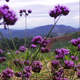 Violet Flowers With Mountain 1 - VideoHive Item for Sale
