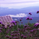 Violet Flowers With Mountain 2 - VideoHive Item for Sale