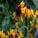 Rudbechia Yellow Flowers Bathed By Rainwater 01 - VideoHive Item for Sale