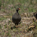 Red-billed Francolin (Pternistes adspersus) - PhotoDune Item for Sale