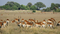 Red Lechwe (Kobus leche leche) - PhotoDune Item for Sale
