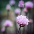 Chives flowering - PhotoDune Item for Sale