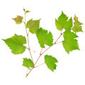 Grape leaves isolated on white background - PhotoDune Item for Sale