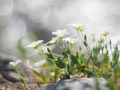 chickweed flower - PhotoDune Item for Sale