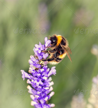 Bee on Lavander - PhotoDune Item for Sale