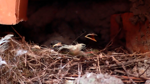 Baby Birds In Nest Chicks Spring Birth New Life 2