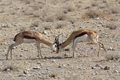 Fighting Springbok - PhotoDune Item for Sale
