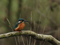 Kingfisher (Alcedo atthis) - PhotoDune Item for Sale