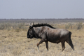 Blue Wildebeest - PhotoDune Item for Sale