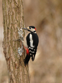 Great Spotted Woodpecker (Dendrocopos major) - PhotoDune Item for Sale