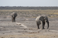 Elephants (Loxodonta africana) - PhotoDune Item for Sale