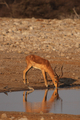 Black-faced Impala (Aepyceros melampus petersi) - PhotoDune Item for Sale