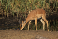 Black Faced Impala (Aepyceros melampus petersi) - PhotoDune Item for Sale