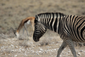 Plains Zebra - PhotoDune Item for Sale