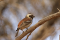 Cape Sparrow (Passer melanurus) - PhotoDune Item for Sale