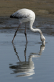 Greater flamingo (Phoenicopterus ruber) - PhotoDune Item for Sale