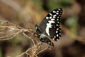 Citrus Swallowtail (Papilio demodocus) - PhotoDune Item for Sale