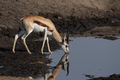 Springbok (Antidorcas marsupialis) - PhotoDune Item for Sale