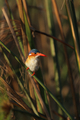 Malachite Kingfisher (Alcedo cristata) - PhotoDune Item for Sale